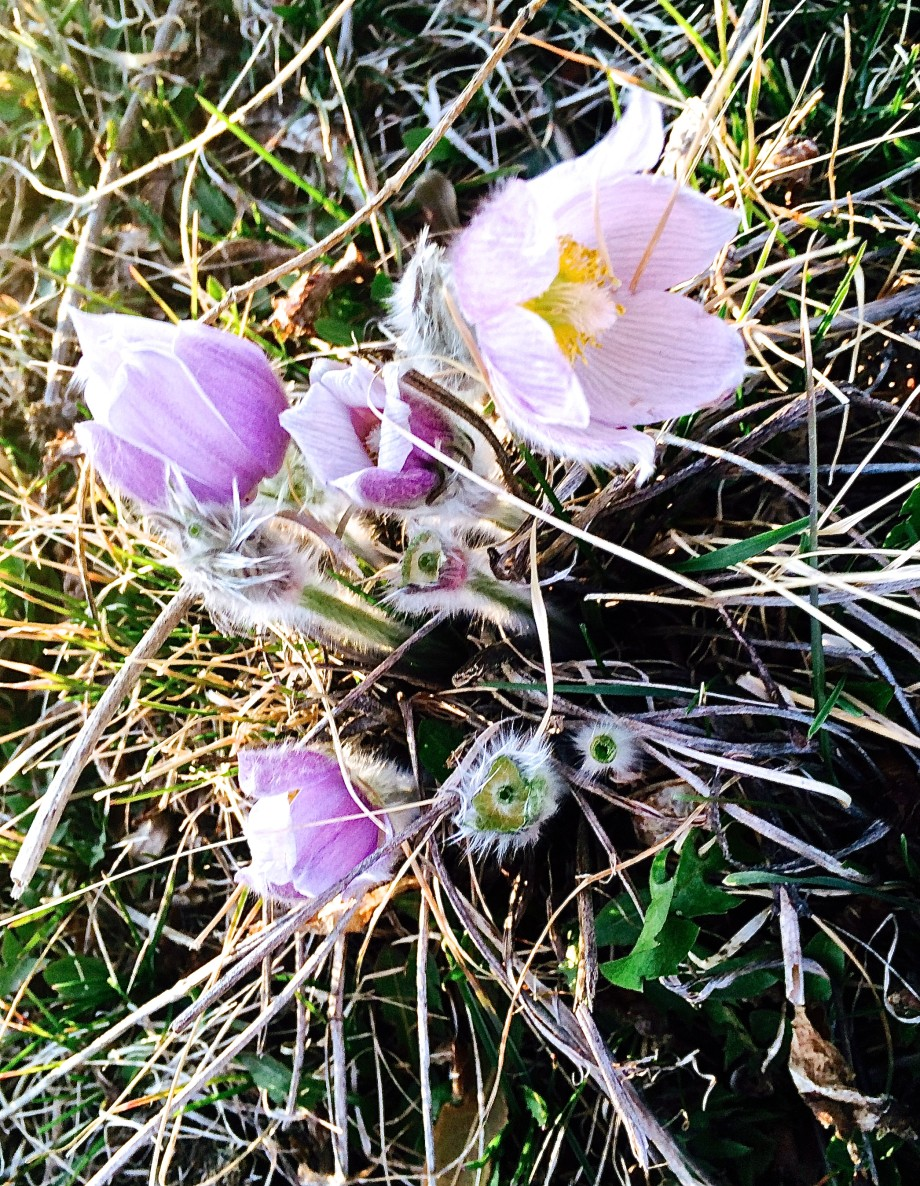 Hairy Crocus? Alberta Wildflower